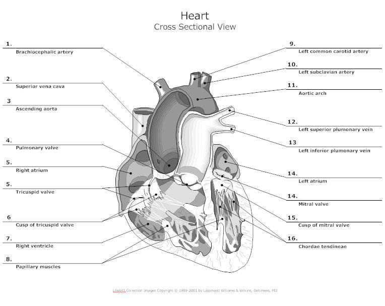 Heart Cross Sectional View - Anatomy Chart