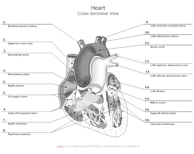 Heart Cross Sectional View - Anatomy Chart