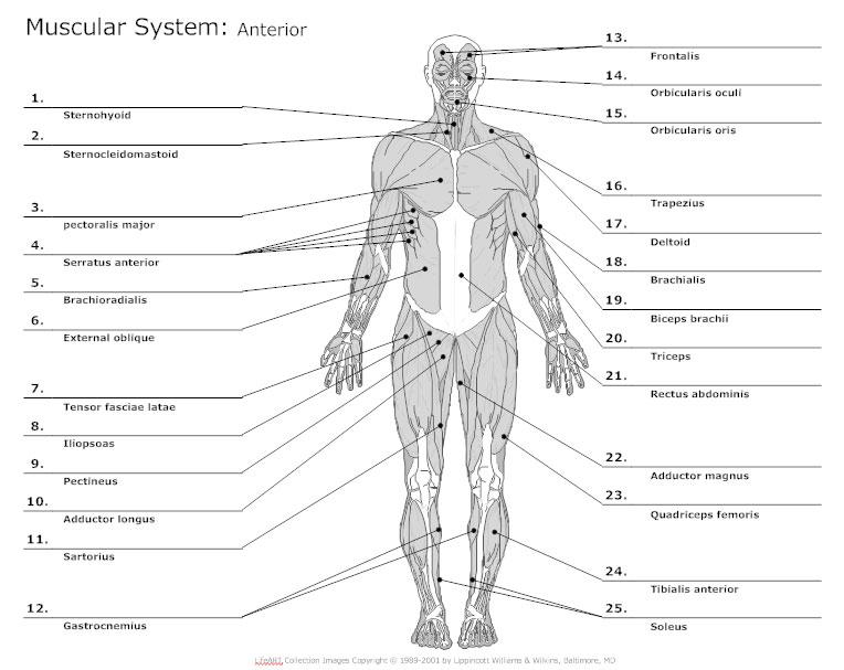 muscular body diagram blank wiring diagrams interval Diaphragm Diagram Unlabeled