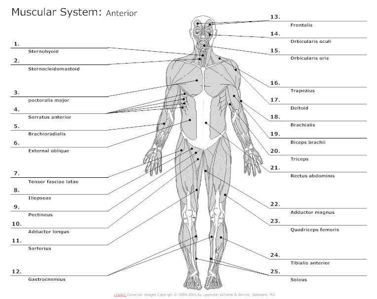 anatomy chart - typical uses for anatomy charts, Muscles