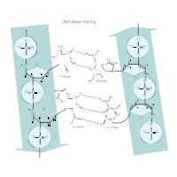 DNA Base Pairing Diagram
