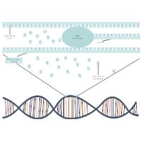 DNA Transcription Diagram