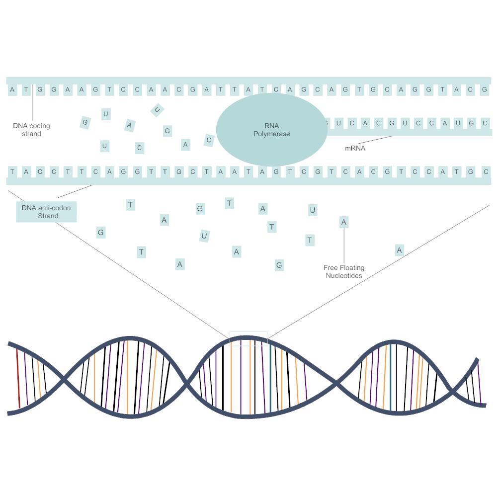 Example Image: DNA Transcription Diagram