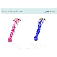 Arteries and Veins of the Arm