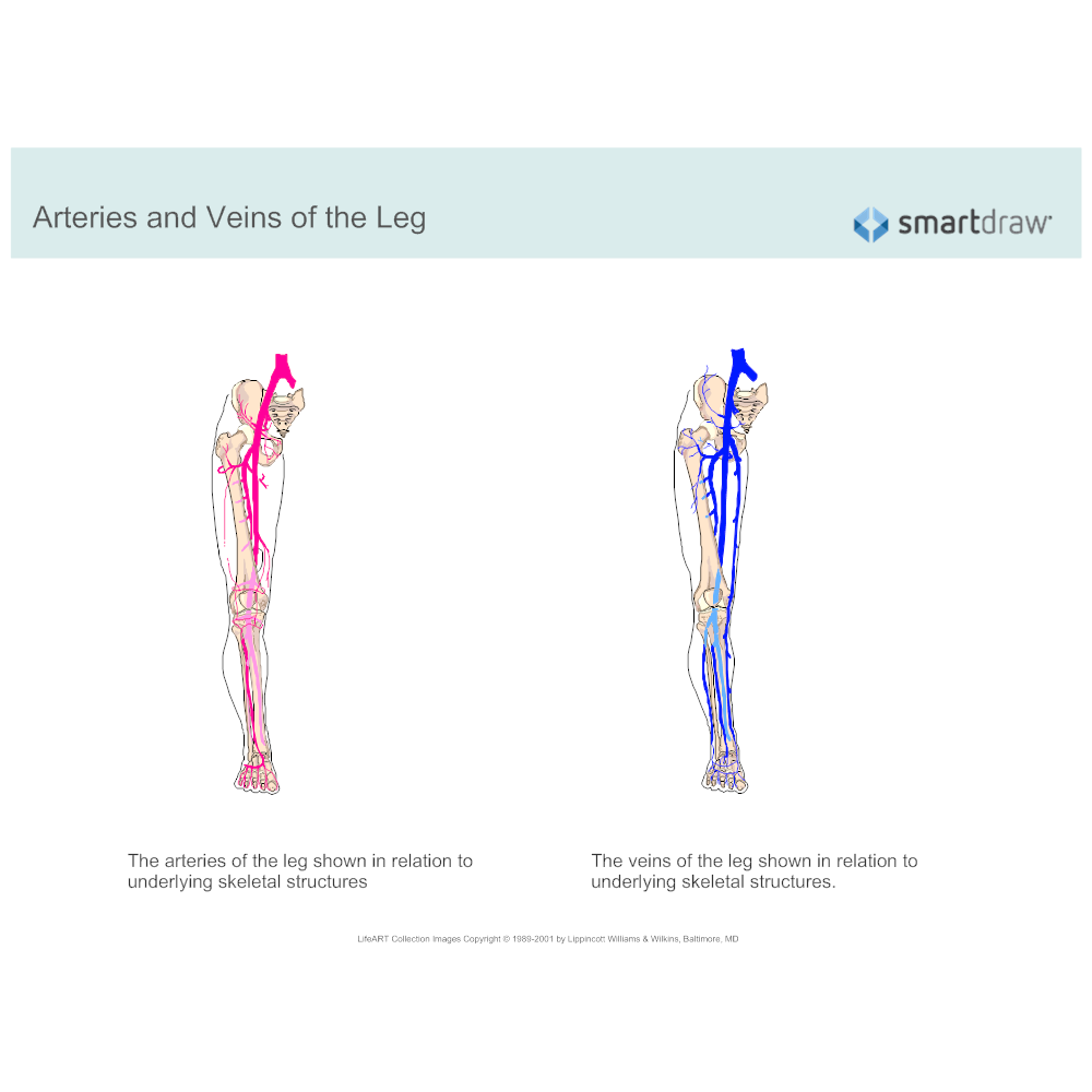Example Image: Arteries and Veins of the Leg