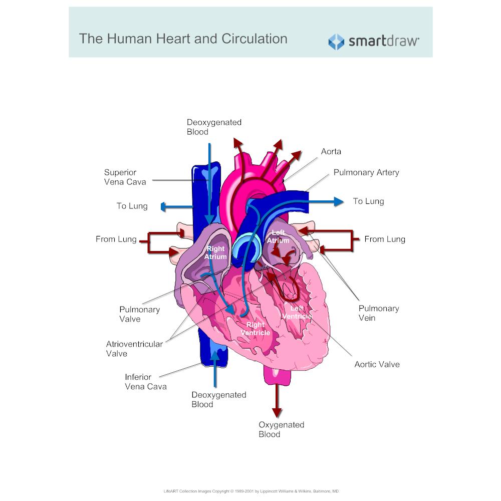 Example Image: Cardiac Circulation