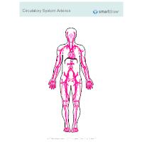 Circulatory System - Arteries