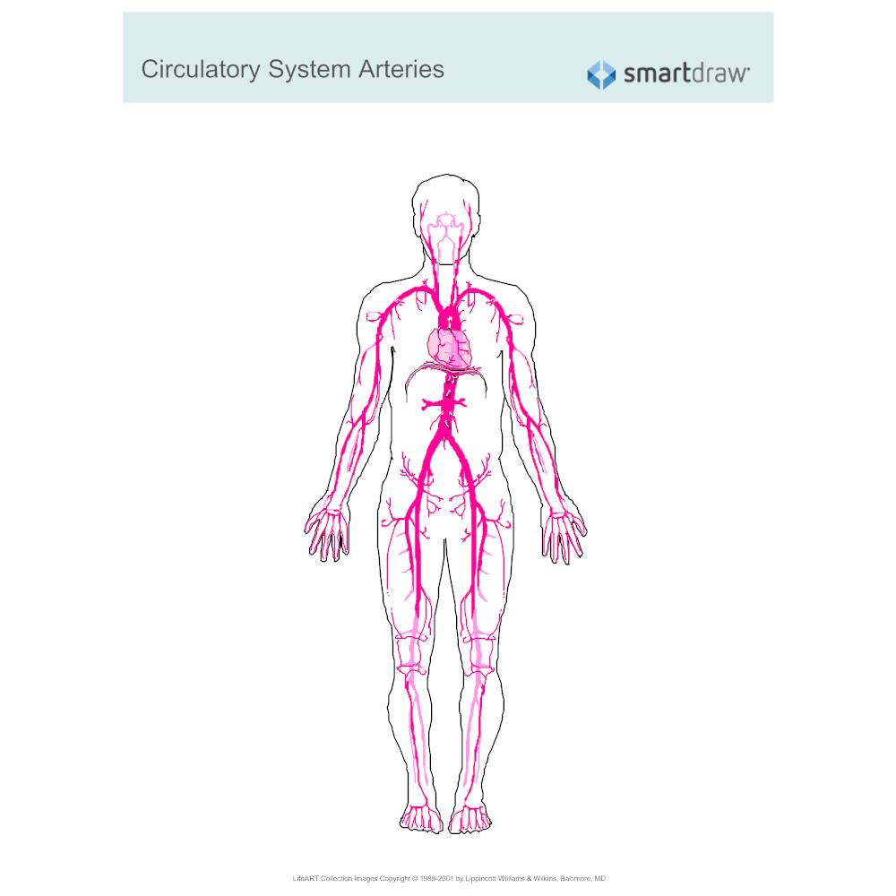 Example Image: Circulatory System - Arteries