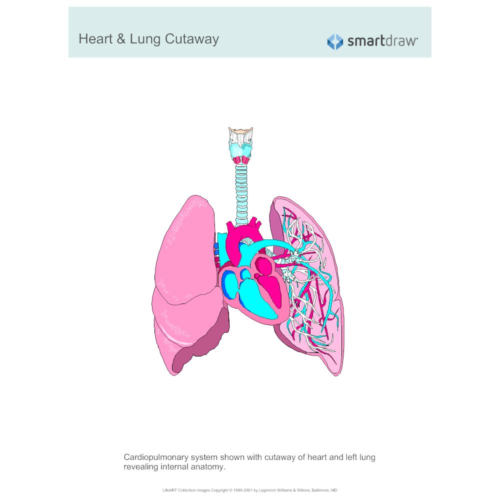 Heart   Lung Cutaway