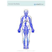 Veins of the Body