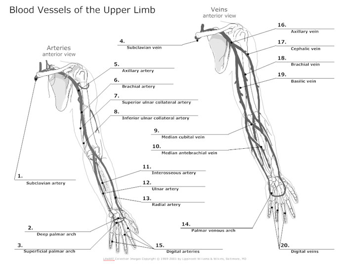 Upper Extremity Artery Anatomy Images - human body anatomy