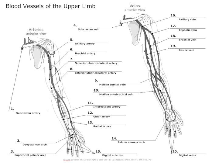 circulatory system diagram cardiovascular system and blood rh smartdraw com Circulatory Sytem Circulatory System Diagram Schematic