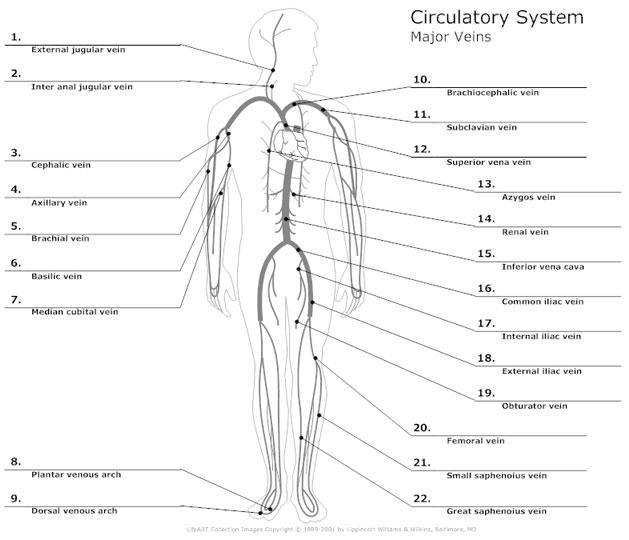 Systemic circulation diagram