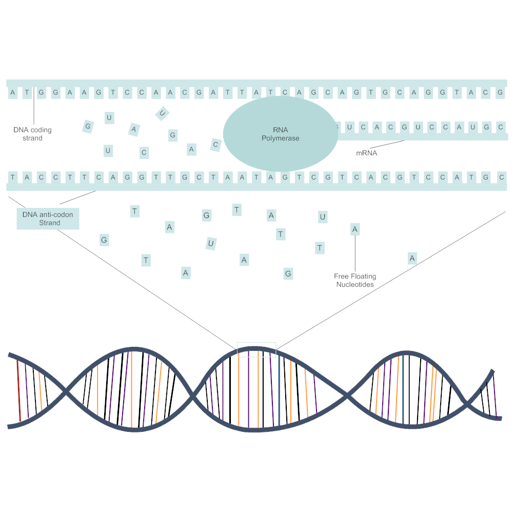dna transcription diagram