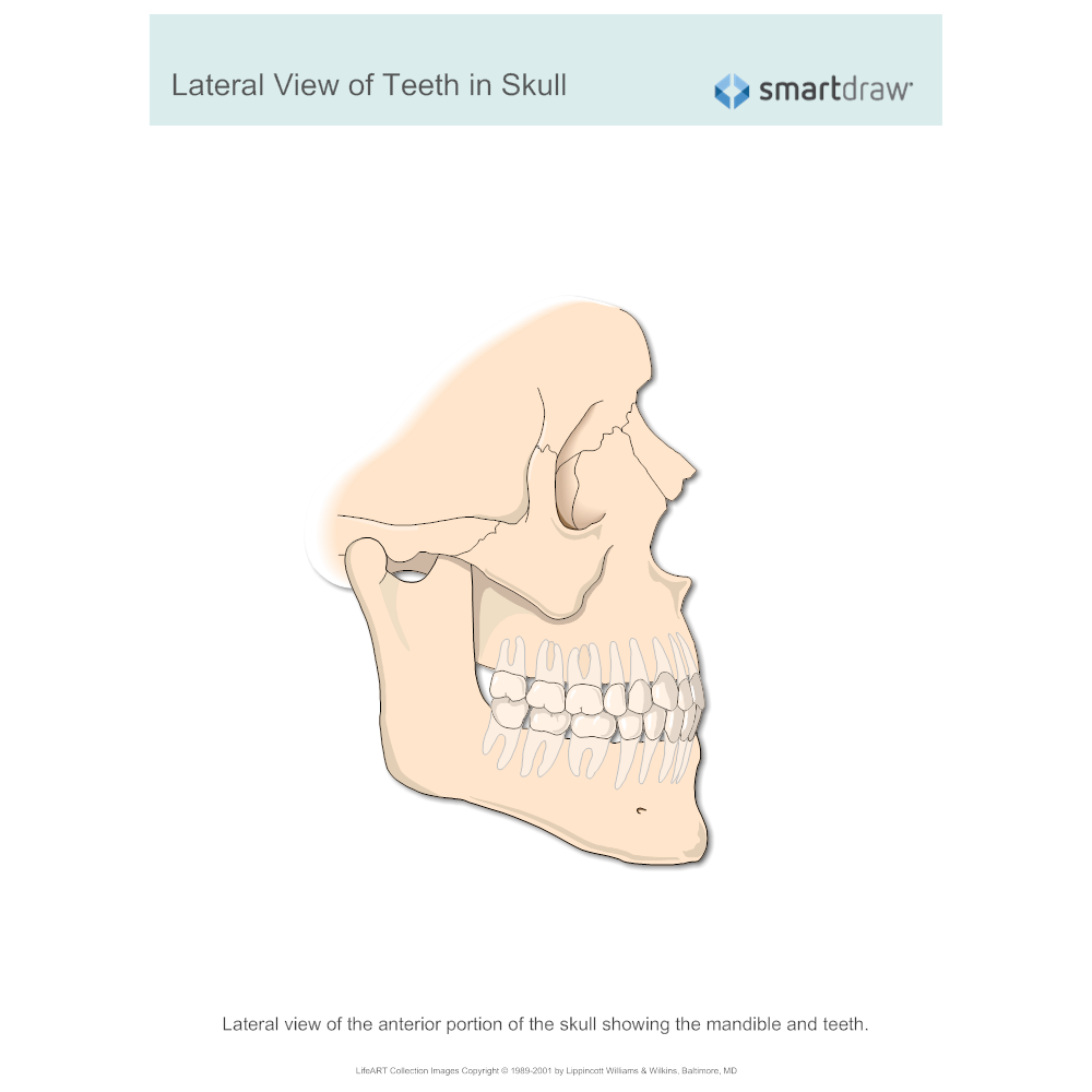 Example Image: View of Teeth in Skull - Lateral