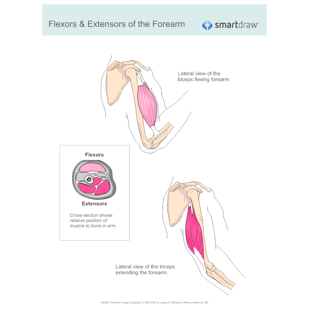 Example Image: Flexors & Extensors of the Forearm