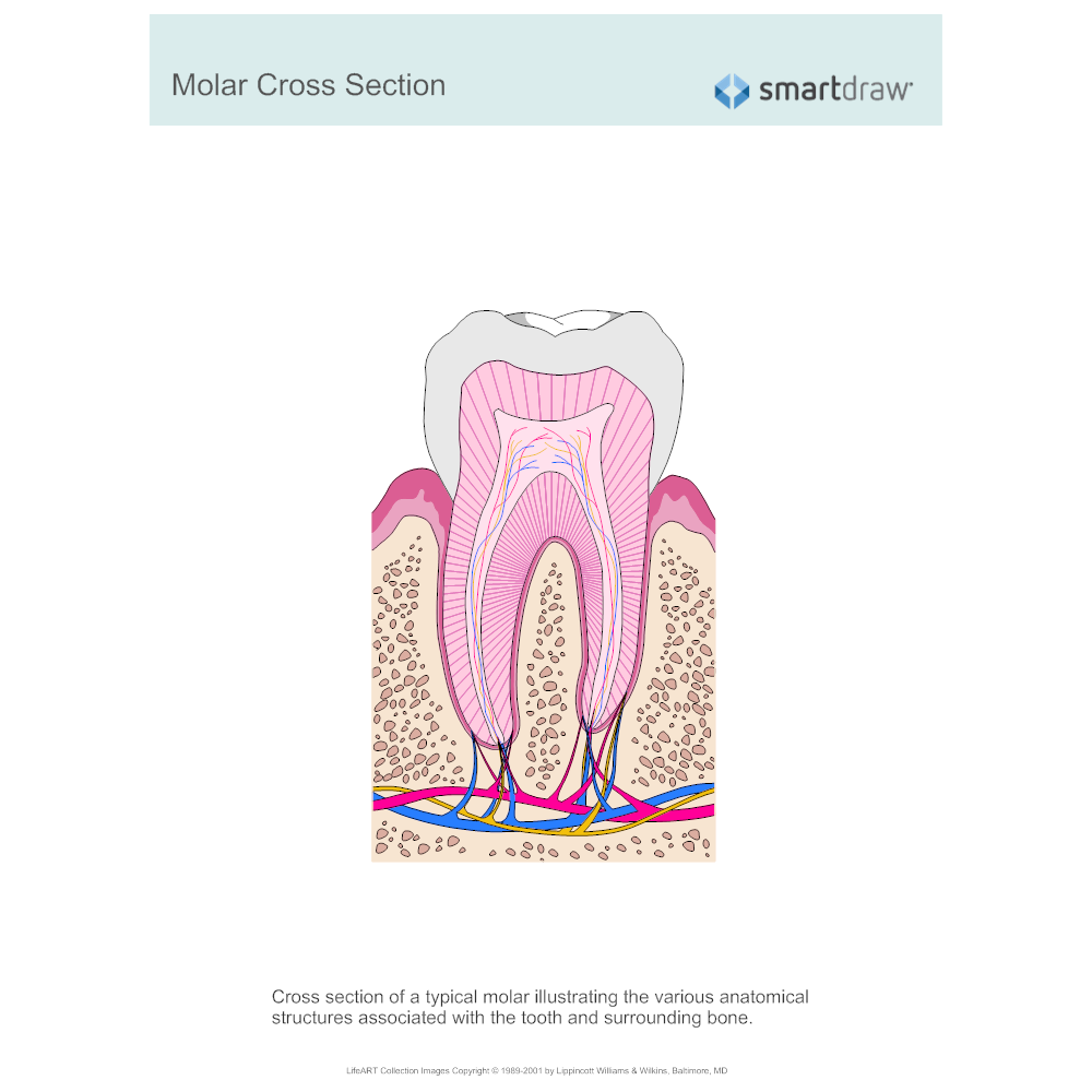 Example Image: Molar Cross Section