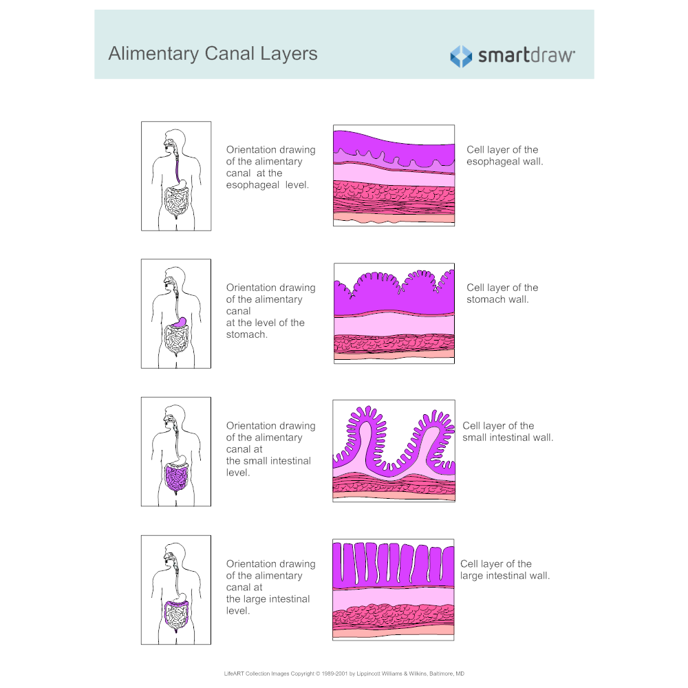 Example Image: Alimentary Canal Layers