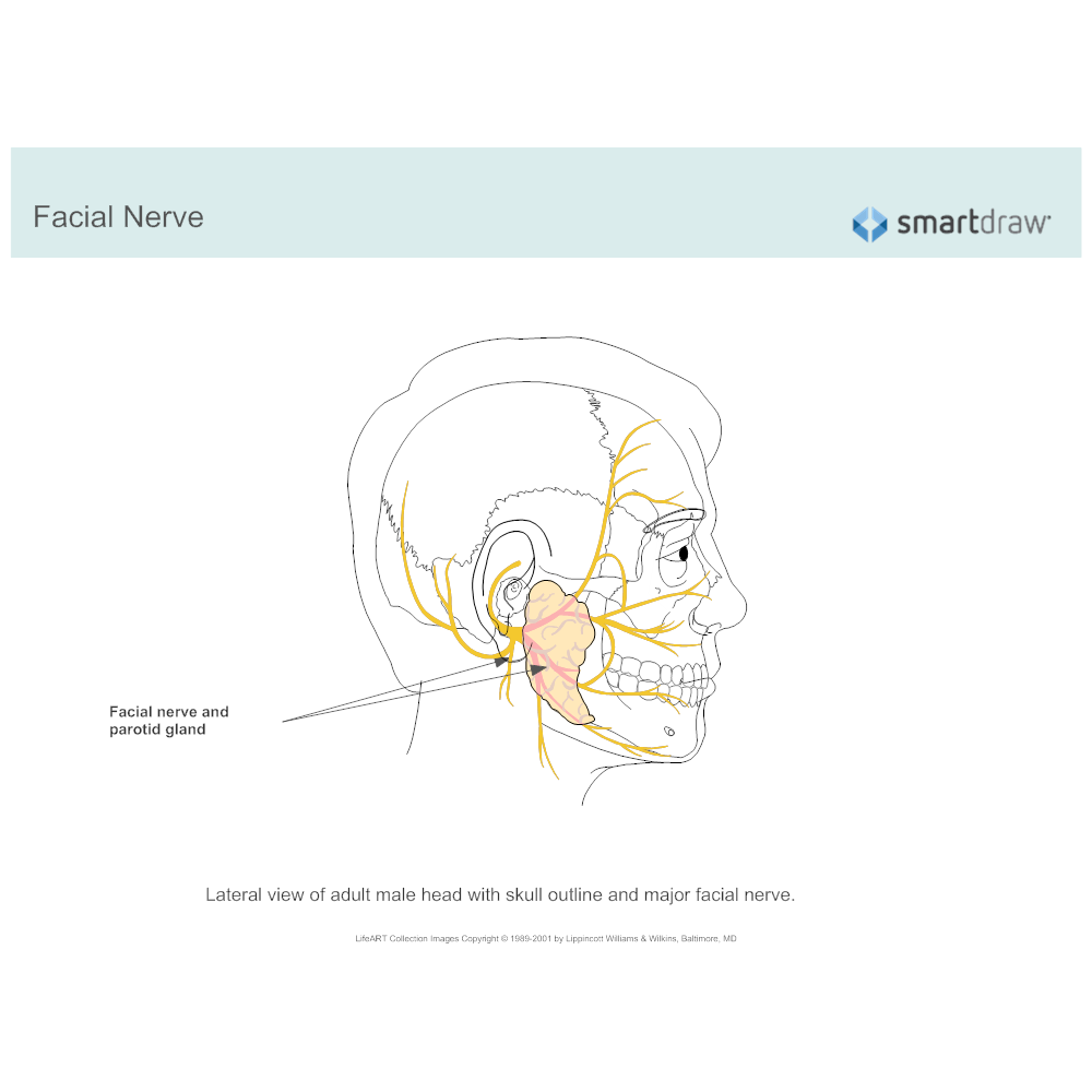 Example Image: Facial Nerve and Parotid Gland