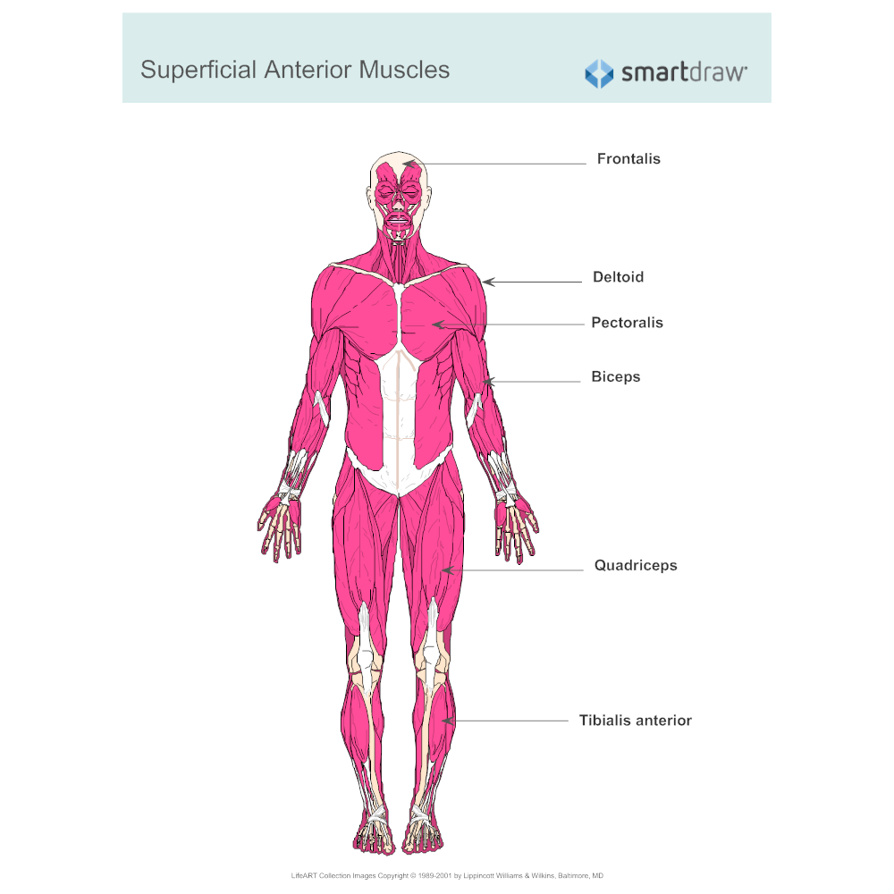 Muscular system diagram labeled