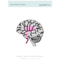 Lateral Brain Arteries