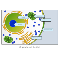 Organelles of a Cell - Biology Diagram