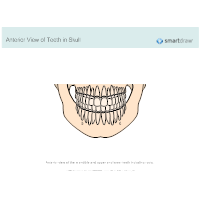 View of Teeth in Skull - Anterior