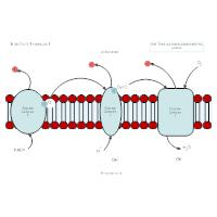 Electron Transport Biology Diagram