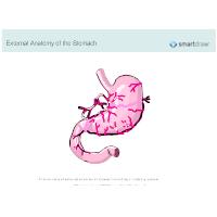 Stomach - External Anatomy