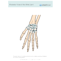 View of the Wrist Joint - Posterior