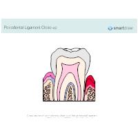 Periodontal Ligament Closeup