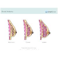 Breast Anatomy