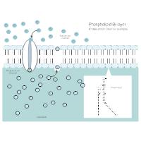 Phospholipid Bi-Layer Diagram