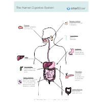 Digestive System Diagrams