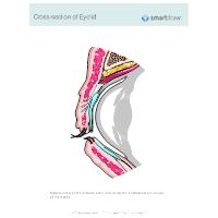 Cross-section of Eyelid