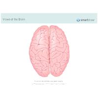 The Brain - Superior View