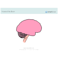 The Brain - Lateral View - 2