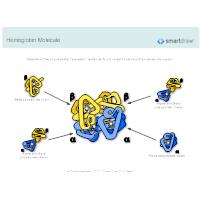 Hemoglobin Molecule
