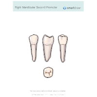 Right Mandibular Second Premolar