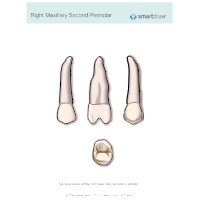 Right Maxillary Second Premolar