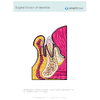 Sagittal Section of Mandible