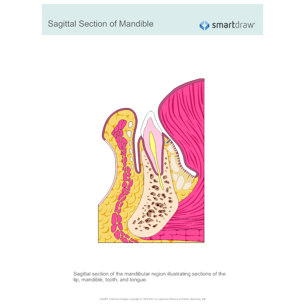 Example Image: Sagittal Section of Mandible