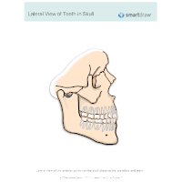 View of Teeth in Skull - Lateral