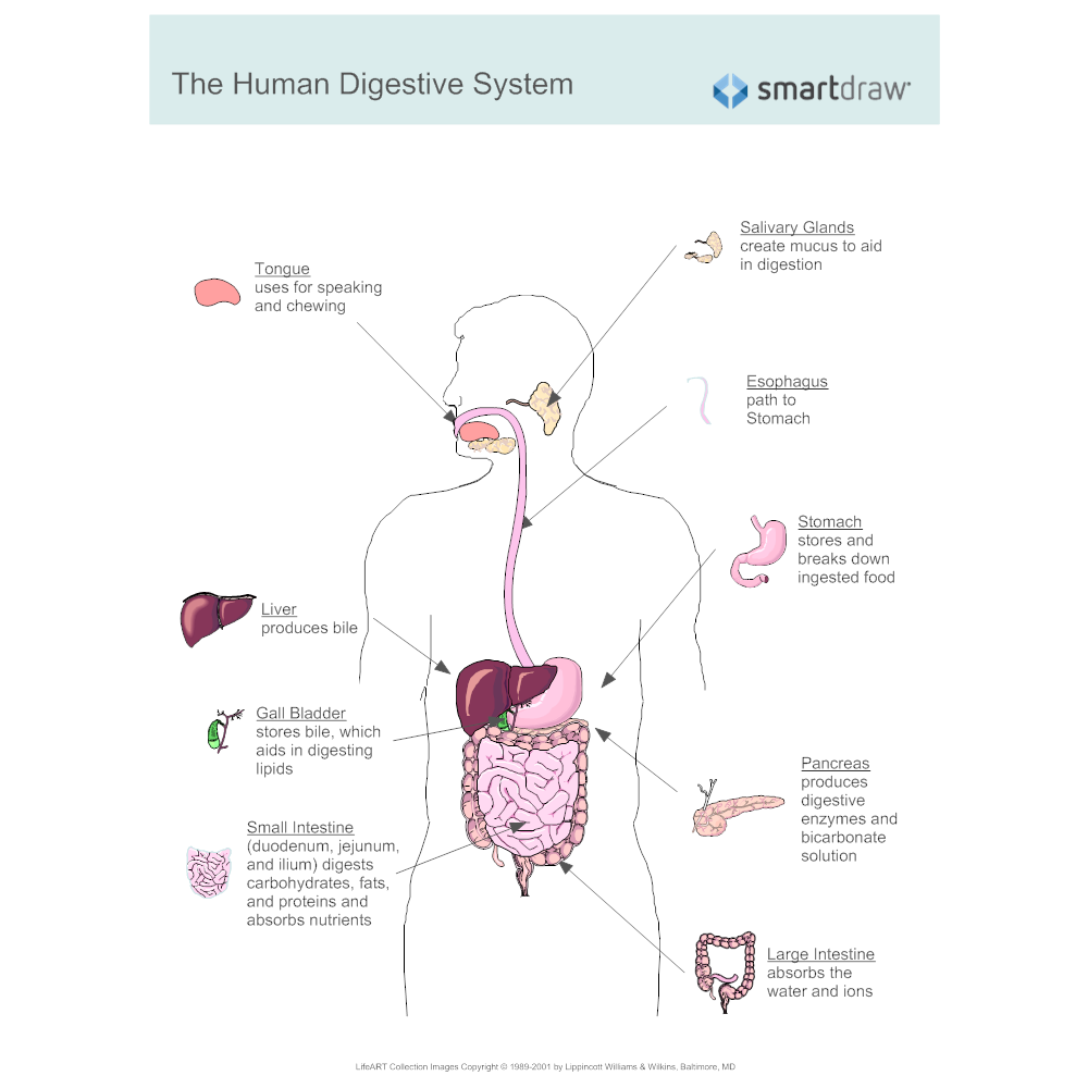Digestive system stomach diagram