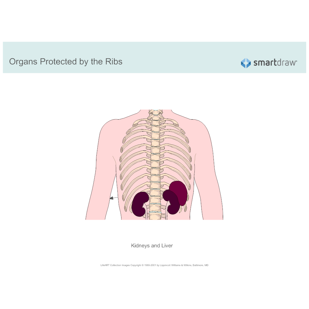 Example Image: Organs Protected by the Ribs