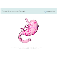 Stomach - External Anatomy