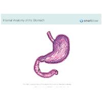 Stomach - Internal Anatomy