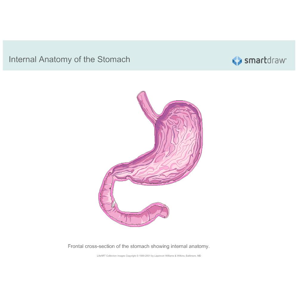 Example Image: Stomach - Internal Anatomy