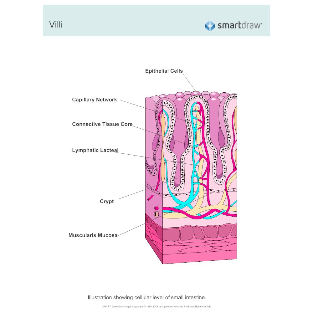 Example Image: Villi - Small Intestine