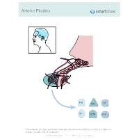 Pituitary Adenohypophysis